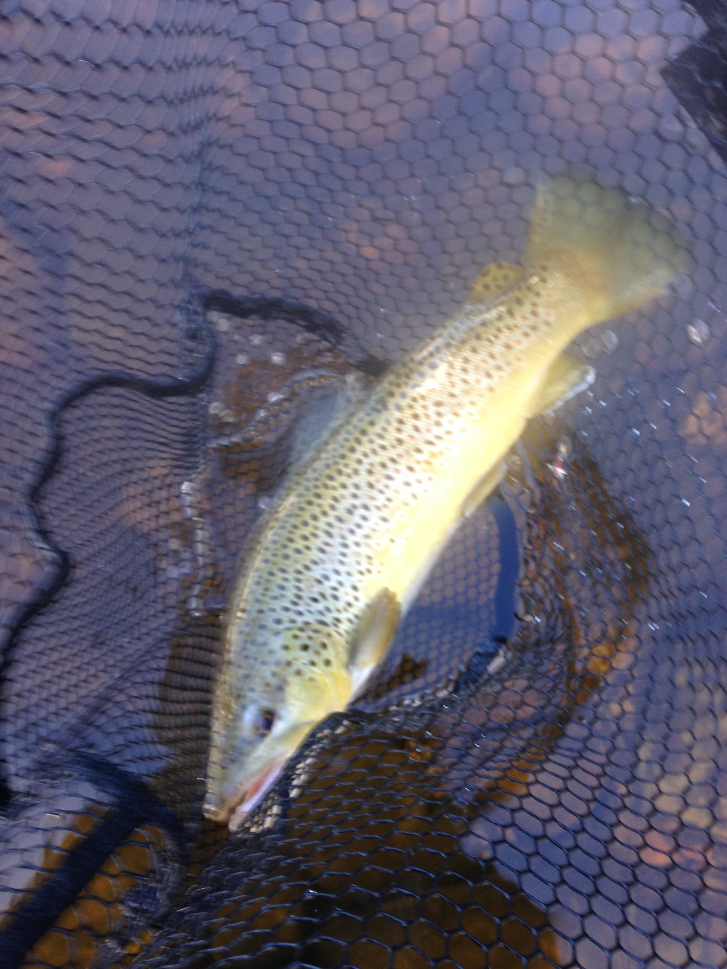 brown trout in the Adirondacks